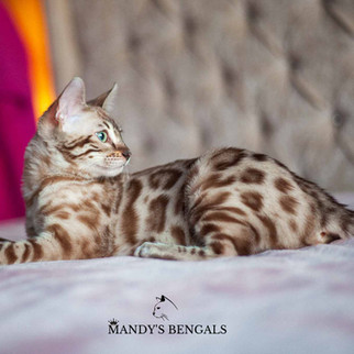 spotted bengal cat queen seal mink snow bengal mandys bengals toronto ontario bengal breeder