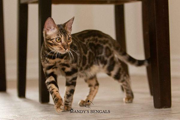 dark brown bengal cat Lola_MandysBengals