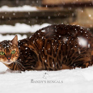brown bengal spotted rosetted mandys bengals