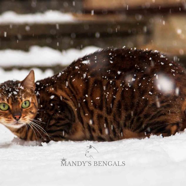 Snow_Bengal_Photoshoot_MandysBengals-22.
