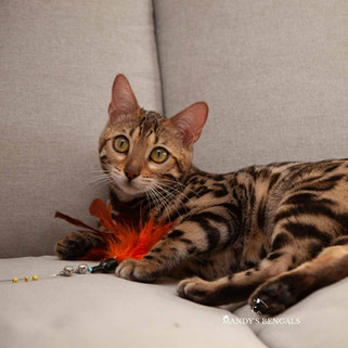 brown spotted rosetted bengal cat queen of mandys bengals toronto ontario bengal breeder