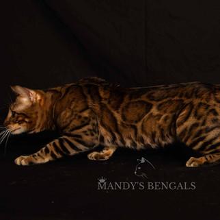 spotted brown bengal cat mandys bengals toronto ontario bengal breeder