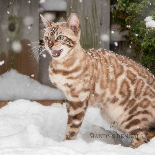 Snow_Bengal_Photoshoot_MandysBengals-01.