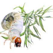 chafer grub & crab grass
