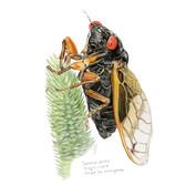 periodical cicada, sketchbook