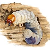 stag beetle grub