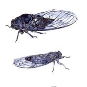 cicadas study