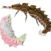 firefly pupa and larva