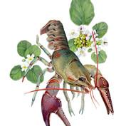 rusty patched crayfish & watercress, wisconsin invasive species series