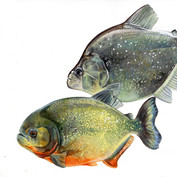 red bellied and violet lined piranhas species comparison.