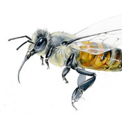 Honeybee study in grey/monochrome