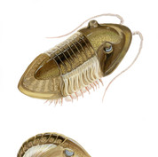 ordovician trilobite, Field Museum, 2019