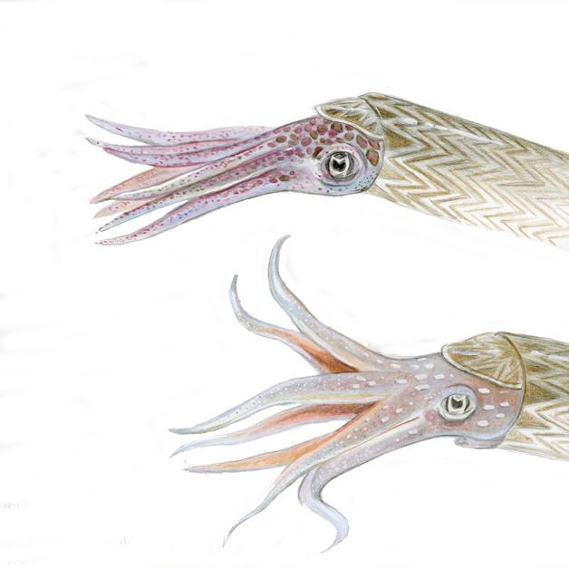 cephalopod color studies, Field Museum, 2019.