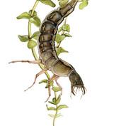 predacious diving water beetle larva