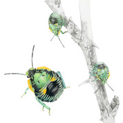 Stink bug nymph study
