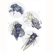 cicada molt sequence