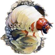 unknown beetle larva