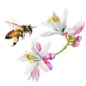 honey bee pollinating lemon flowers