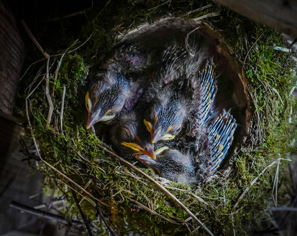 Baby robins in the car port