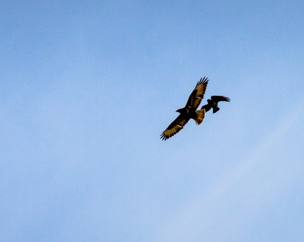 Buzzards being chased by a crow