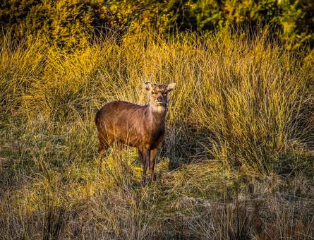 Sika Deer in the field next door