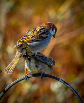 House Sparrows planning for the future .