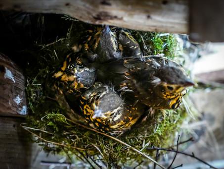 Thrush chicks in the wood store nest