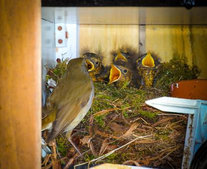 Mum Robin feeding the chicks