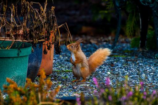 Red Squirrel in the garden