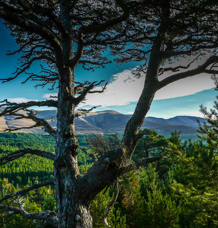 The Cairngorms from Aviemore's ancient pine forest