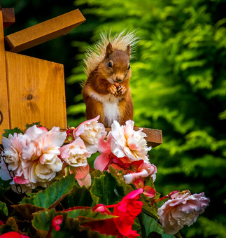 Red Squirrel in July