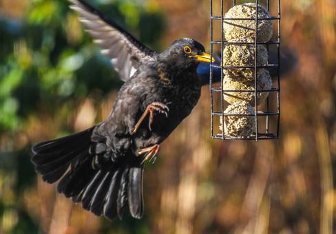 Feeding Blackbird