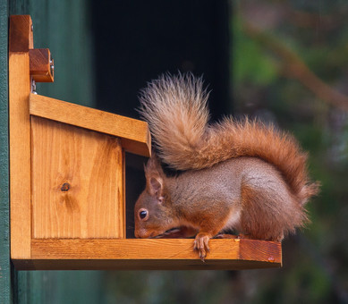Red Squirrel on the feeder