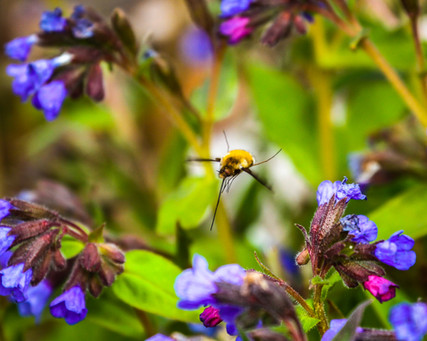 Narrow bordered bee hawk moth in flight
