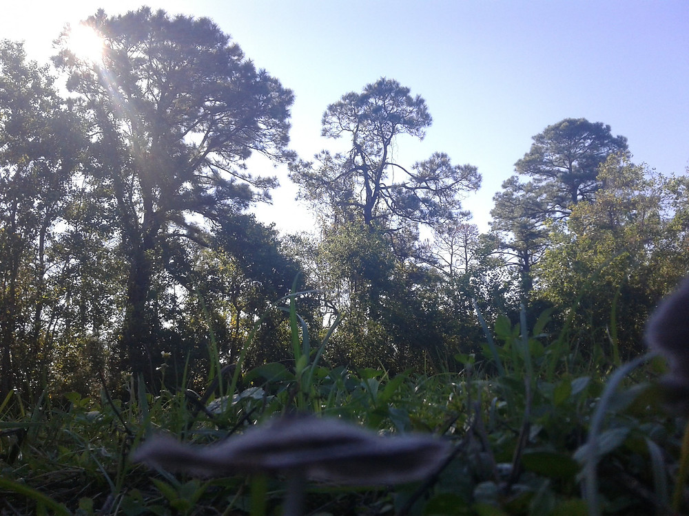 Bug's eye view of mushrooms, grass, and trees at sunrise.