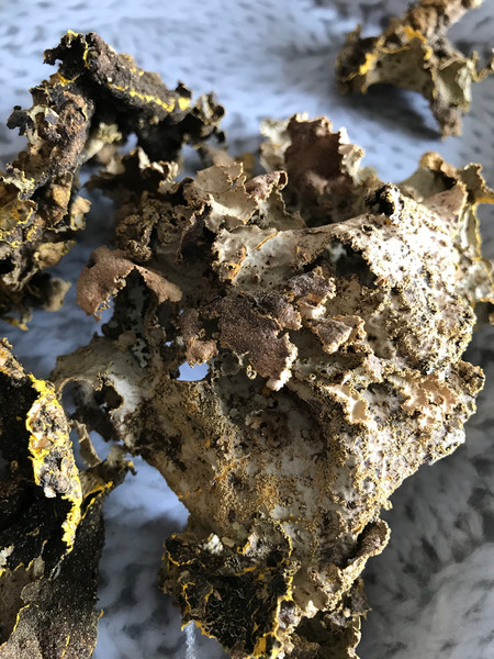 Sticta coronata (lichen) from New Zealand