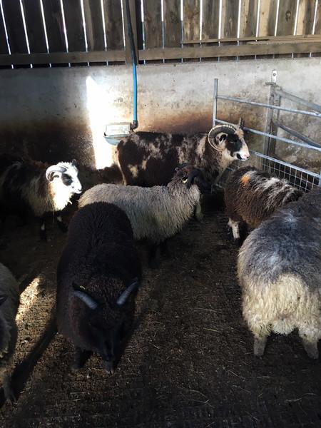 Shetland sheep - coloured wool on the hoof