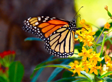Monarch Butterfly's are FLYING!