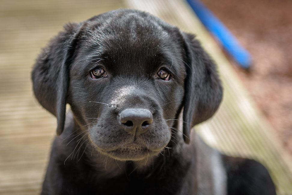 Bruadarach Labradors | Breagha.