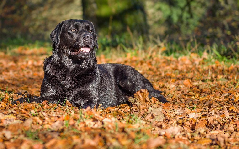 Bruadarach Labradors | Brodie.