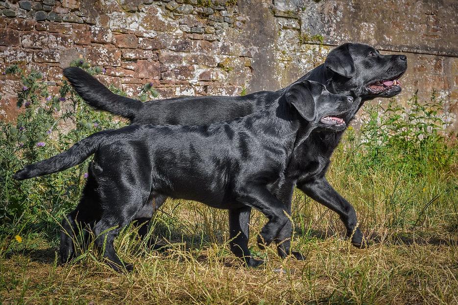 Bruadarach Labradors