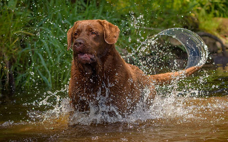 Bruadarach Labradors_Harvey