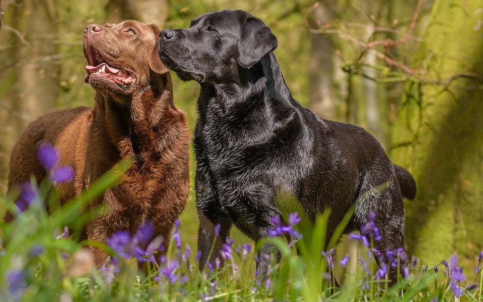 Bruadarach Labradors | Brodie | Harvey
