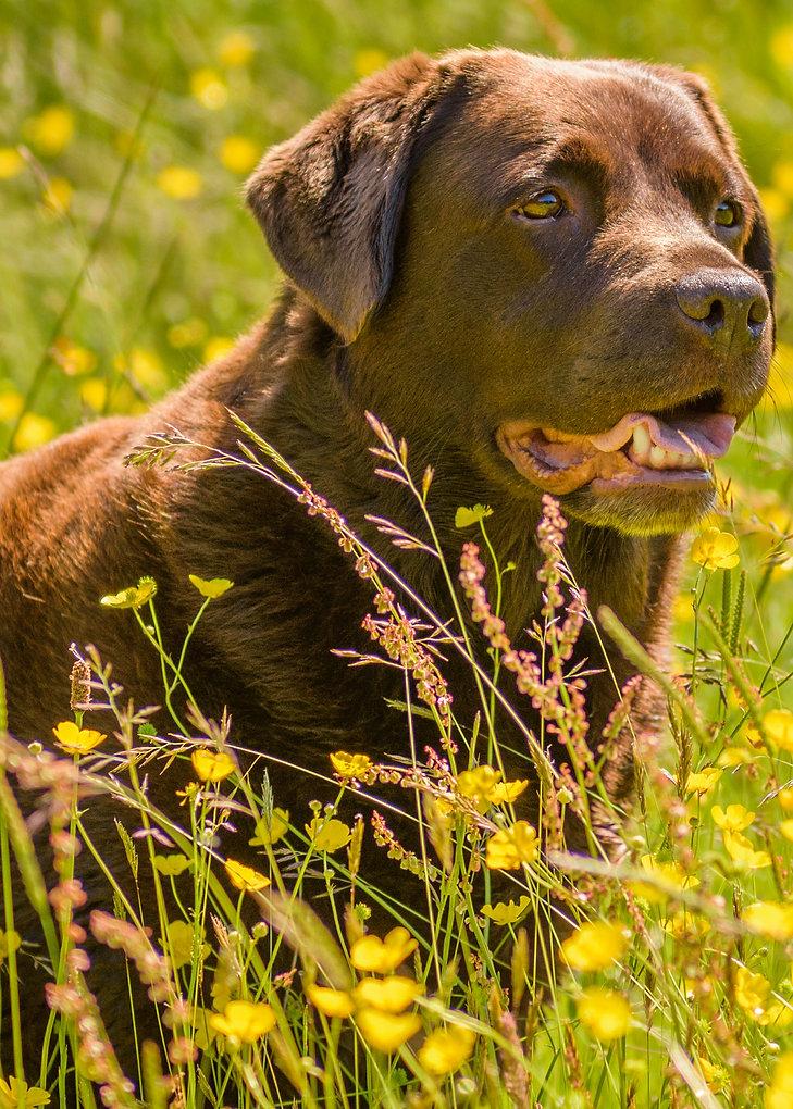 Bruadarach Labradors | Nettie