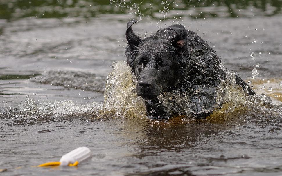 Bruadarach Labradors| Breagha