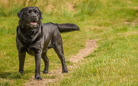 Brodie_UK Show Champion_Black Labrador_Labrador_gun dog