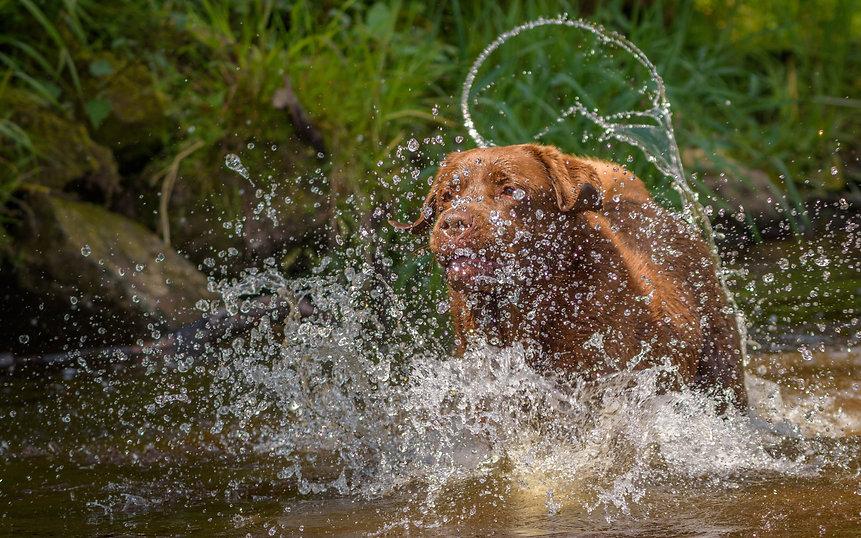 Bruadarach Labradors | Harvey