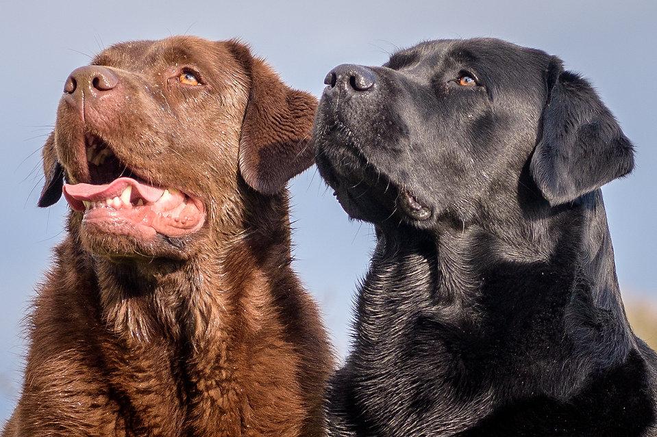 Bruadarach Labradors | Brodie | Harvey'