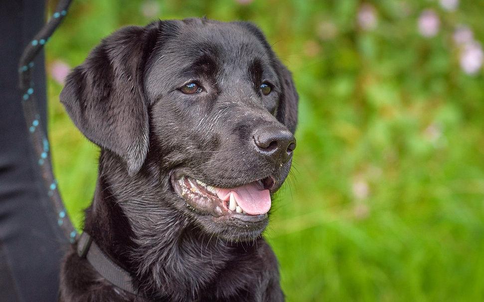 Bruadarach Labradors | Breagha