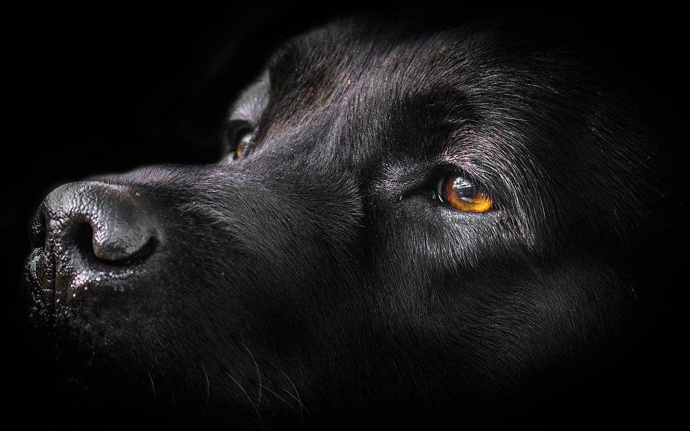 Bruadarach Labradors | Brodie | UK Show Champion.